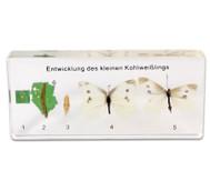 Lebenszyklus des Schmetterlings