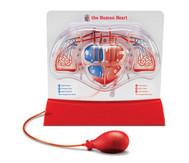 Herz-Kreislauf-Modell