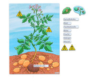 Die Kartoffelpflanze