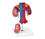 Nieren mit Gefäßen
