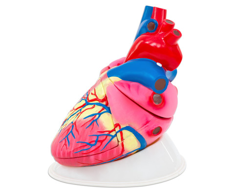 Betzold grosses Modell vom menschlichen Herz