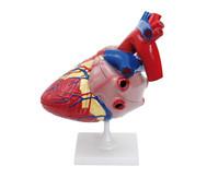 Großes Modell vom menschlichen Herz