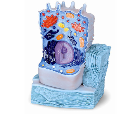 Tierische Zelle-1
