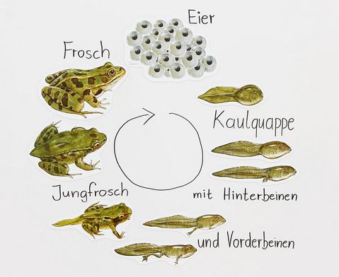 Magnetischer Lebenszyklus Frosch