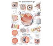 Lehrtafel menschliches Auge