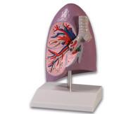 Menschliche Lungenhälfte